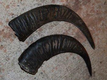 full buffalo horn